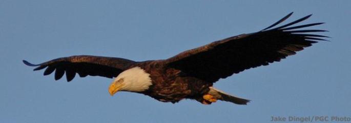 bald_eagle_watching_in_pa_ci_2